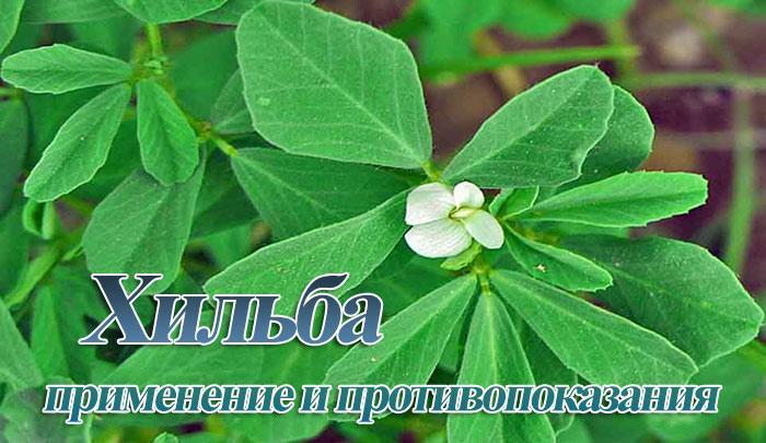Трава хильба: применение, польза и вред, для чего её пьют