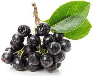 Рябина черноплодная: полезные свойства и противопоказания